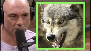 Joe Rogan - I'm Fascinated by Wolves!!