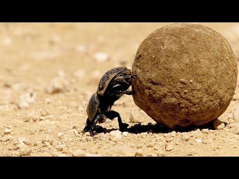 Dung Beetle Rolls Enormous Dung Ball with Difficulty (4K)