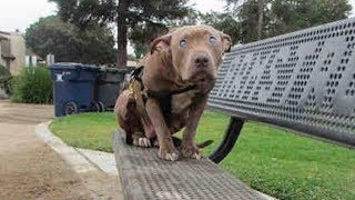 Woman Spots Pit Bull Sitting On Bench. Takes One Step Closer And Gasps At Discovery
