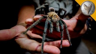 Giant Tarantula Shows Its Fangs!
