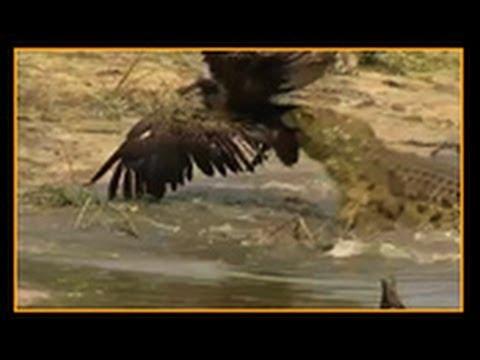 Crocodile attacks Vulture