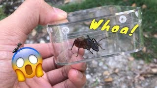 This might just be the world's LARGEST ANT !!!