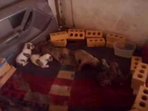 pit bull pups! Video