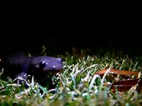 Header of Ambystoma jeffersonianum