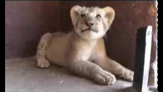Kevin Richardson Lion Man Leões www keepvid com