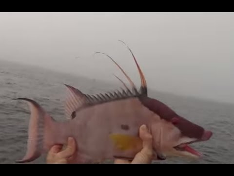 How to catch a Hogfish