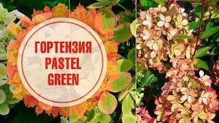 Download Youtube Online Гортензия Метельчатая Pastel Green Гортензия Метельчатая Pastel Green Download
