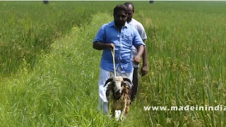 FULL GOAT BIRYANI PREPARED IN MY VILLAGE | VILLAGE FOODS  - WORLD FAMOUS TRADITIONAL RECIPE