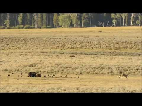 "A YELLOWSTONE MOMENT - ""A Little Playtime"""
