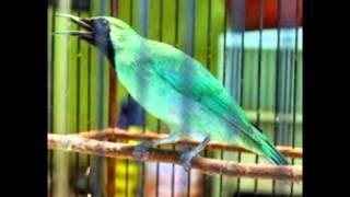 Perawatan Burung Cucak Ijo Mabung