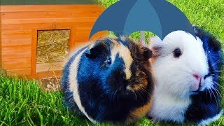 Keeping Guinea Pigs Outdoors | Summer & Winter | What You Need to Know