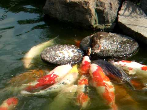 baby duck feed the carp (Nishiki-Goi, Koi) Video