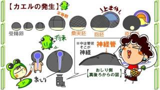 生物3章5話「カエルの発生」byWEB玉塾