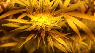 Medical Marijuana Grow