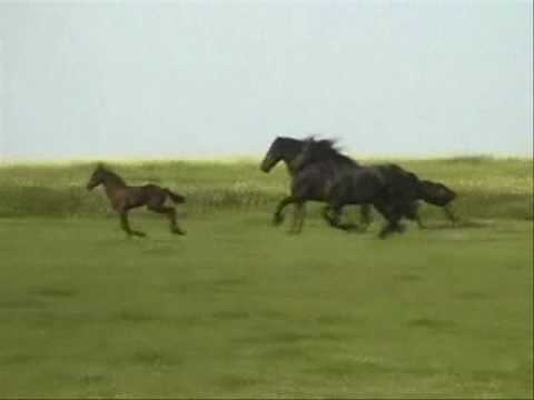 Friesian Horses Running Free