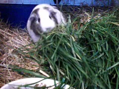 2011-08-24 Adele - Pregnant Guinea Pig. Adele (the youngest of my female ...