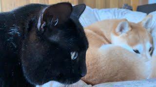 甘え下手すぎて近くでゴソゴソするだけの猫と察した柴犬 Awkward Cat Want to Cuddles Dog