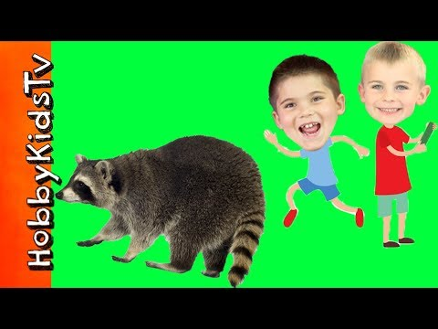 We Caught REAL Raccoons! Safe Trap and Release with Havahart HobbyFamily HobbyKidsTV