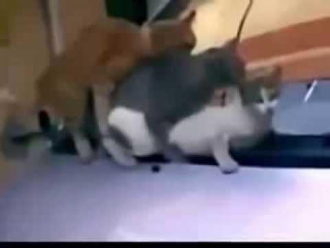 Как кошки занимаются сексом видео