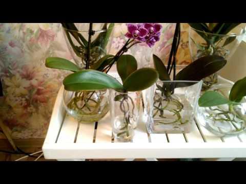 Выращивание фаленопсиса в воде 295