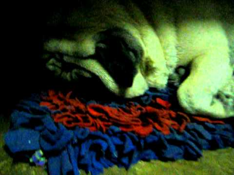 Pug Gnash นอนกัดฟัน.AVI