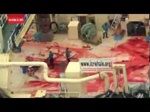 Sea Shepherd activists release whale hunt video as clash begins in Southern Ocean