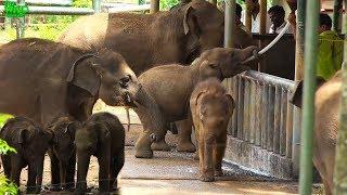 Elephant orphans queue to drink milk