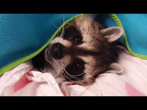 Buster The Raccoon Doesn't Like Getting Out