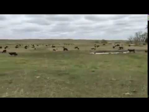 Dispersal of 700 Black Angus  Cows  - Sat., Nov. 14, 2015 - Ogallala Livestock Auction