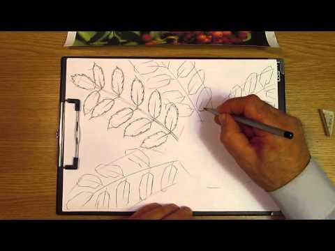Видео как нарисовать рябину карандашом поэтапно