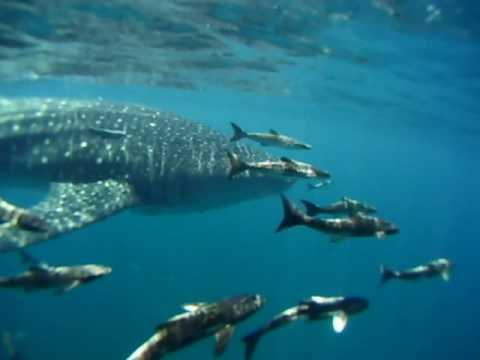 Whale Sharks of Grayton Beach Video