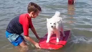 Japanese Spitz surfing in Mandurah