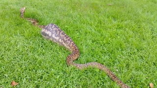 Snake Catchers Find 16ft Snake Digesting A Wallaby