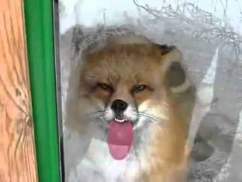 Fox licking window