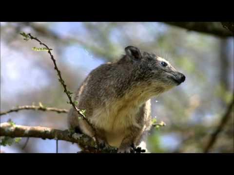 Mammals of the World: Southern Tree Hyrax