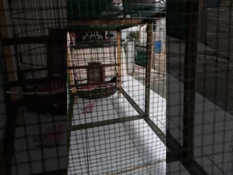 R.M pengkor murai batu Medan nembak cililin diumbaran.jakbar..@mas kicau.com