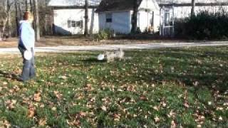 Breeze & Micah (rehabbed pm dogs) playing in yard -plus sunshine new trick