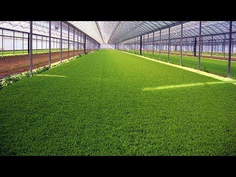 Выращивание укропа в теплице зимой как бизнес 31