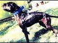 ТОП-3 Питбулей Чемпионов мира по собачьим боям.