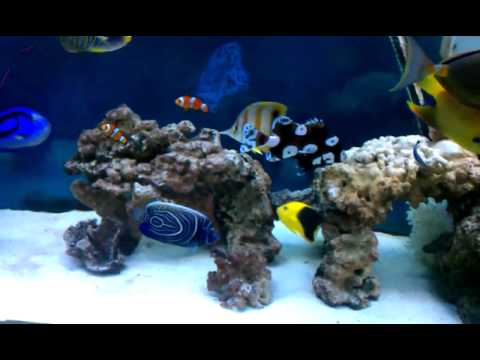 Saltwater fish tank angelfish trigger tangs youtube for How to make saltwater for fish