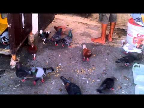 Burung merpati Liberty Bird Farm