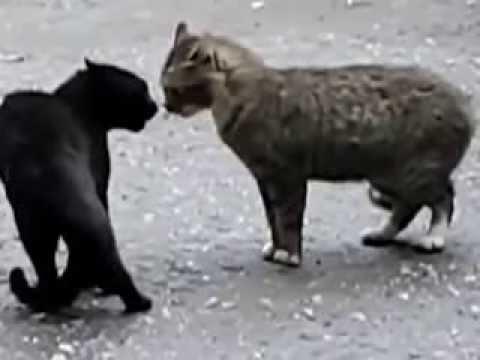 Разговор двух кошек Юмор! Приколы! Смех