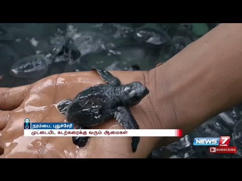 118 endangered Olive Ridley turtle hatchlings let out into sea at Pondicherry | News7 Tamil