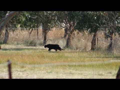 Experts Divided Over Mysterious Big Black Cat Spotted In Mississippi