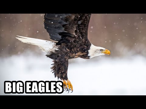 Best Eagle Attacks; World's Largest and Deadliest, Part 2, Bald and Golden Eagles!