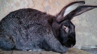 Types of rabbits breeds. Raising Chinchilla Giant Rabbit.