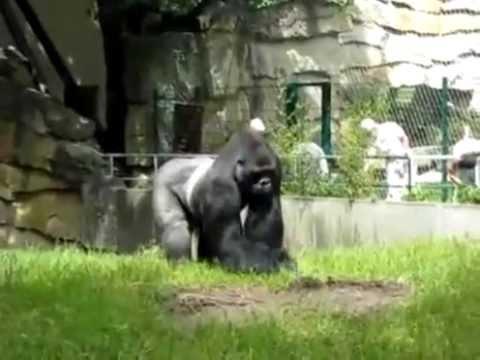 Gorilla throwing dirt on people