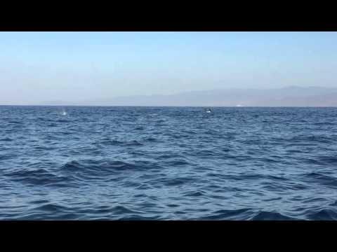 Manta Ray Jumping Jumping Manta Rays