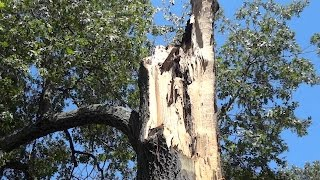 WHY trees can & do literally EXPLODE. Simplex pressure & Mother Nature