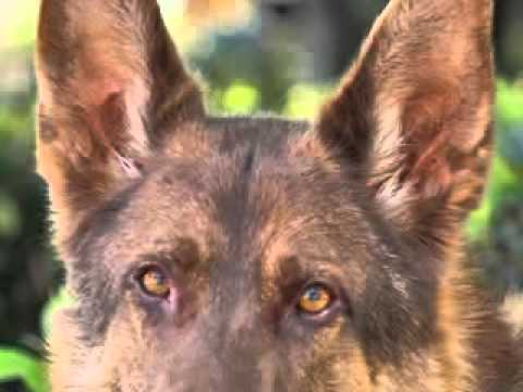 Liver German Shepherd Dog Liver Color German Shepherd